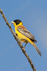 גיבתון שחור ראש; 	 Black-headed Bunting (Emberiza melanocephala)