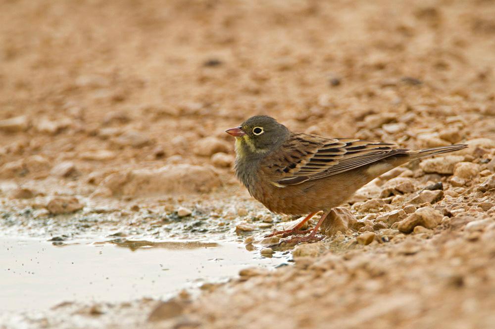 Ortolan Bunting - Emberiza hortulana - גיבתון גנים Eilat; Israel; 2012; Bartov