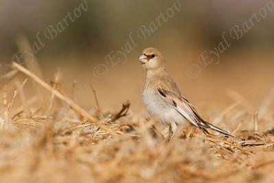Desert Finch (Rhodospiza obsoleta) חצוצרן שחור מקור