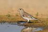 Desert Finch (Rhodospiza obsoleta)<br /> חצוצרן שחור מקור