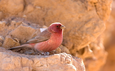 Sinai Rosefinch or Pale Rosefinch (Carpodacus synoicus)