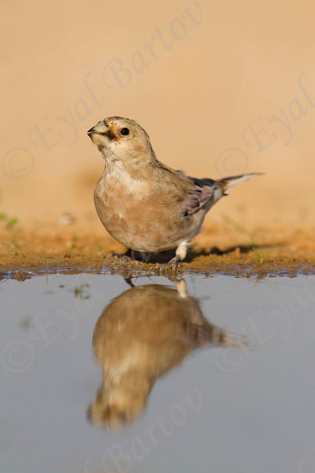 Trumpeter Finch (Bucanetes githagineus) חצוצרן מדבר