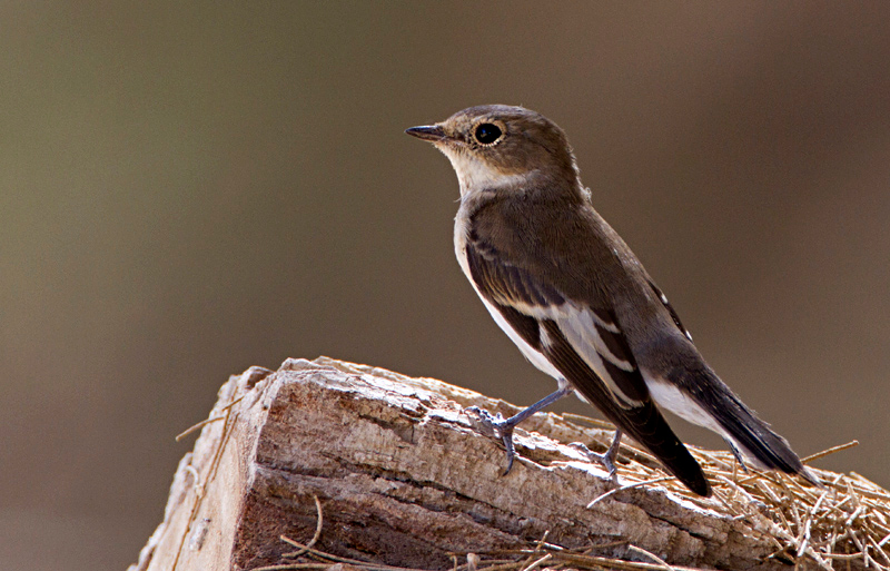 Collared Flycatcher / Ficedula albicollis- חטפית לבנת עורף