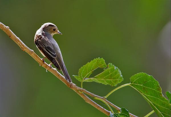 Flycatchers  -חטפיות
