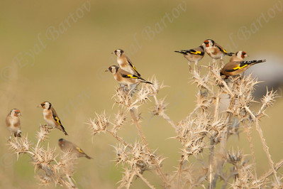 European Goldfinch  (Carduelis carduelis) - חוחית