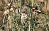 European Goldfinch  (Carduelis carduelis) - חוחית