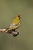 Greenfinch (Carduelis chloris) ירקון