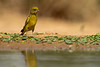 Greenfinch (Carduelis chloris) -  ירקון