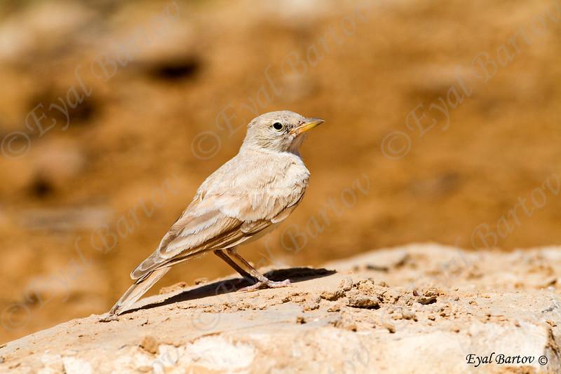 / Desert Lark / Ammomanes deserti עפרוני מדבר
