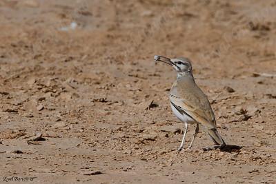 אלימון דרום הערבה —— Hoopoe Lark / Alaemon alaudipes