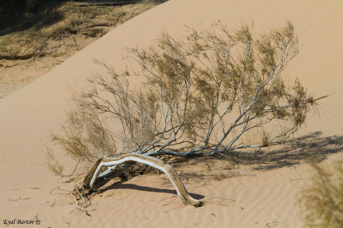 Hoopoe Lark  Habitat  ( Alaemon alaudipes) אלימון דרום הערבה