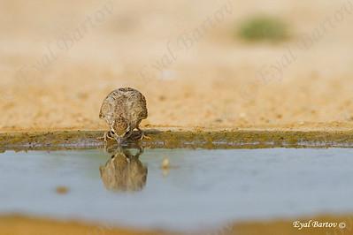 Crested Lark (Galerida cristata) עפרוני מצויץ