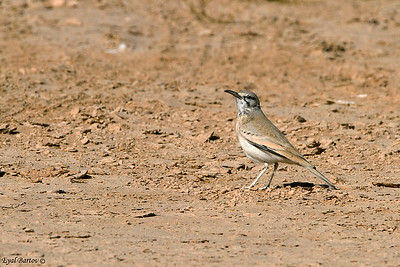 אלימון דרום הערבה  Hoopoe Lark / Alaemon alaudipes