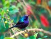 Palestine Sunbird or Northern Orange-tufted Sunbird (Cinnyris osea) - צופית בוהקת