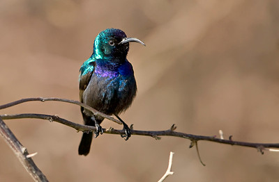 Palestine Sunbird or Northern Orange-tufted Sunbird (Cinnyris osea) - צופית בוהקת