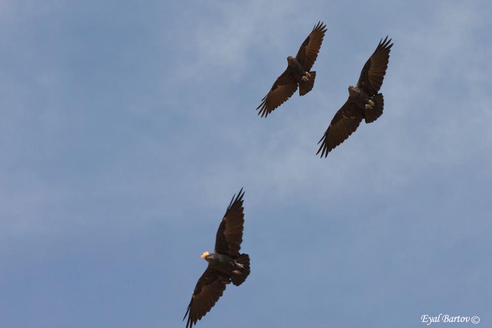 Fan-tailed Raven (Corvus rhipidurus)- עורב קצר זנב