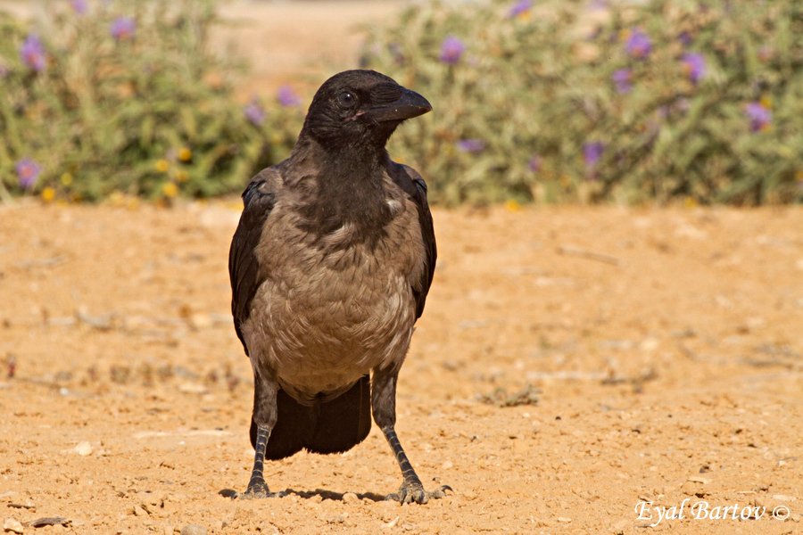 Hooded Crow (Corvus cornix) -עורב אפור
