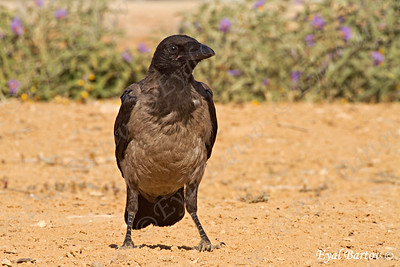 Hooded Crow (Corvus cornix) -עורב אפור