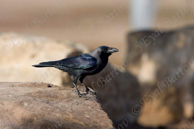 House Crow (Corvus splendens)- עורב הודי