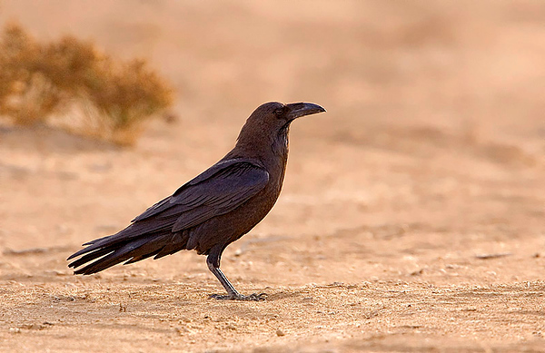 Brown necked Raven.jpg