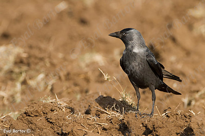 Jackdaw (Coloeus monedula)- קאק