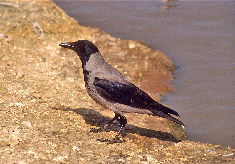 Hooded Crow (Corvus cornix) - עורב אפור