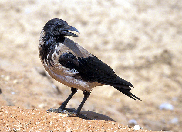 Hooded Crow (Corvus cornix) - עורב אפור