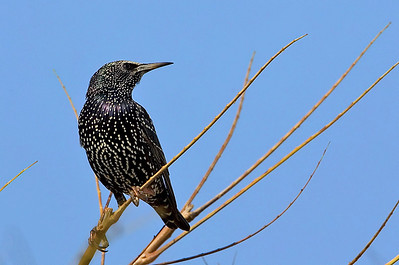 Common Starling (Sturnus vulgaris) זרזיר מצוי
