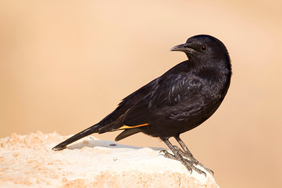 Tristram's Starling or Tristram's Grackle טריסטרמית - (Onychognathus tristramii)