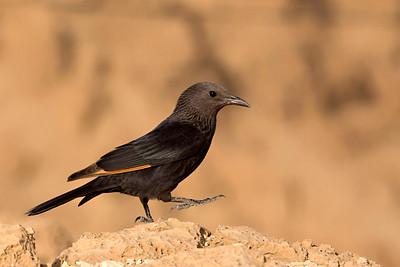 Tristram's Starling or Tristram's Grackle טריסטרמית - (Onychognathus tristramii)