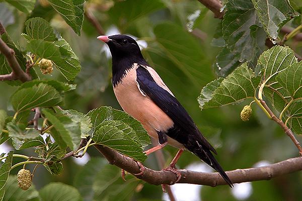 Starling - זרזירים
