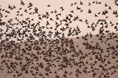 Common Starling (Sturnus vulgaris) זרזיר מצוי