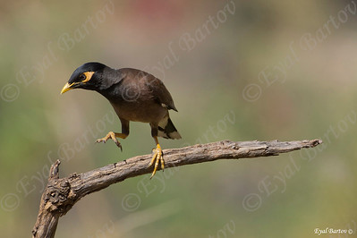 Common Myna (Acridotheres tristis)-  מיינה מצויה