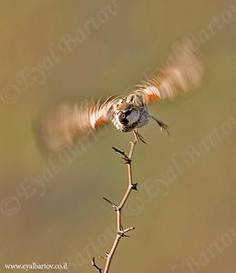 Spanish Sparrow - דרור ספרדי