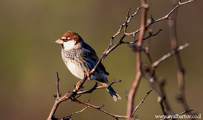 Spanish Sparrow (Passer hispaniolensis) - דרור ספרדי