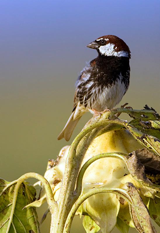 Spanish Sparrow (Passer hispaniolensis) - דרור ספרדי