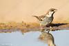Spanish, Sparrow, NEGEV, ISRAEL,