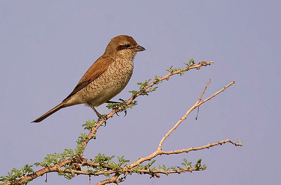 Red-backed Shrike (Lanius collurio) juv.