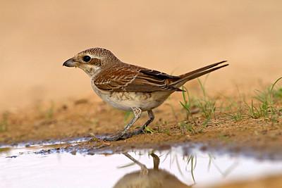 Red-backed Shrike (Lanius collurio) juv