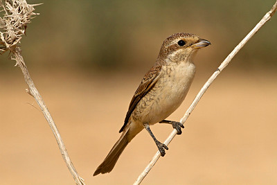 Red-backed Shrike (Lanius collurio) female