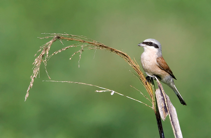 Red-backed Shrike (Lanius collurio) male