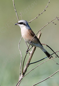 חנקן אדום גב / Red-backed Shrike / Lanius collurio