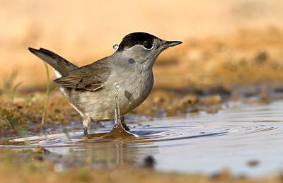 Blackcap -סבכי שחור כיפה Eurasian Blackcap (Sylvia atricapilla) - סבכי שחור כיפה