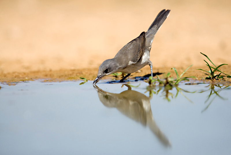 Orphean Warbler,( Sylvia hortensis) סבכי חורש