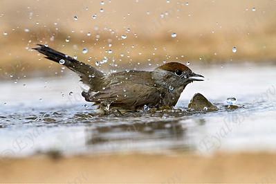 נקבת סבכי שחור כיפה  - Eurasian, Blackcap