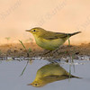 Willow Warbler (Phylloscopus trochilus)- עלווית אפורה