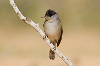 Blackcap (Sylvia atricapilla) סבכי שחור כיפה