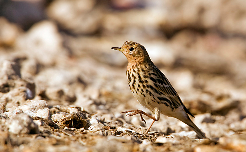 Red-throated Pipit - פיפיון אדום גרון