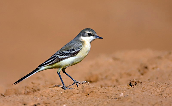 Yellow Wagtail14 _Northern cost Israel_12.06_Bartov.jpg