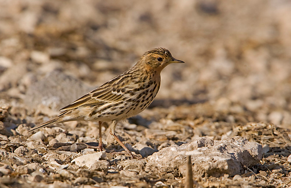 Red-throated Pipit 5 Northern cost Israel_12.06_Bartov.jpg